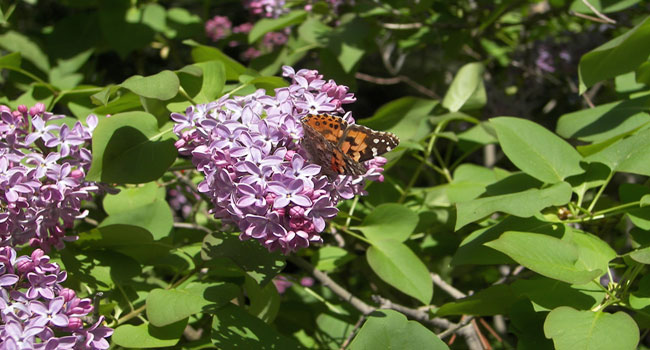 lilac bush with butterfly